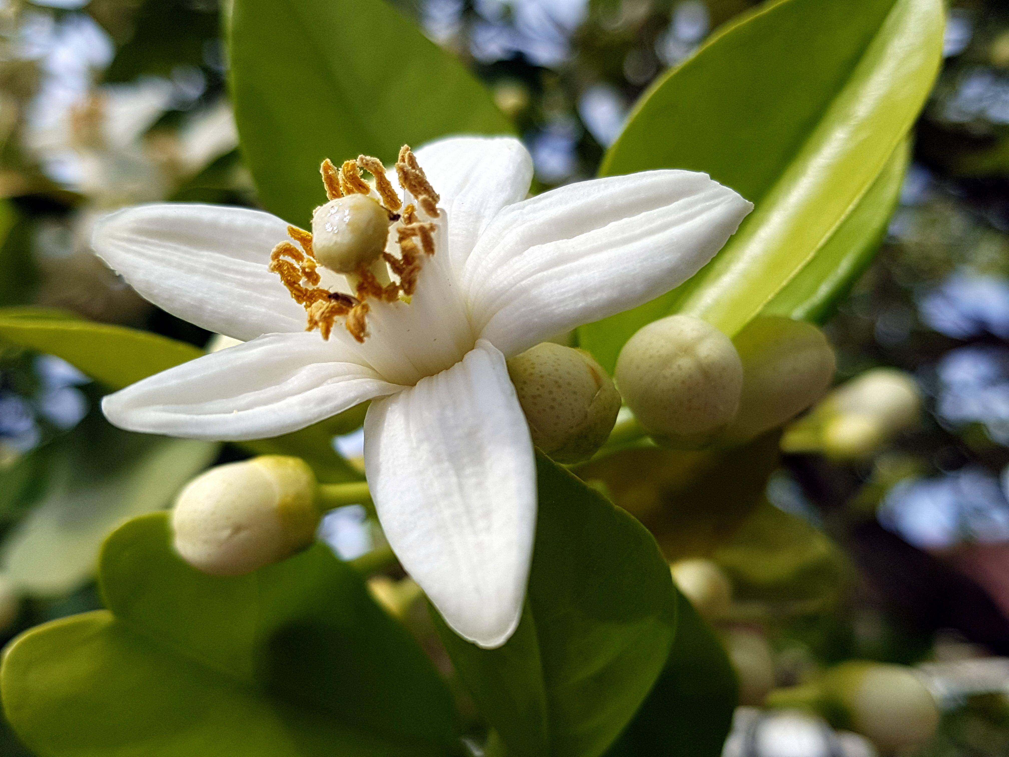29. Orange Blossom - Florida