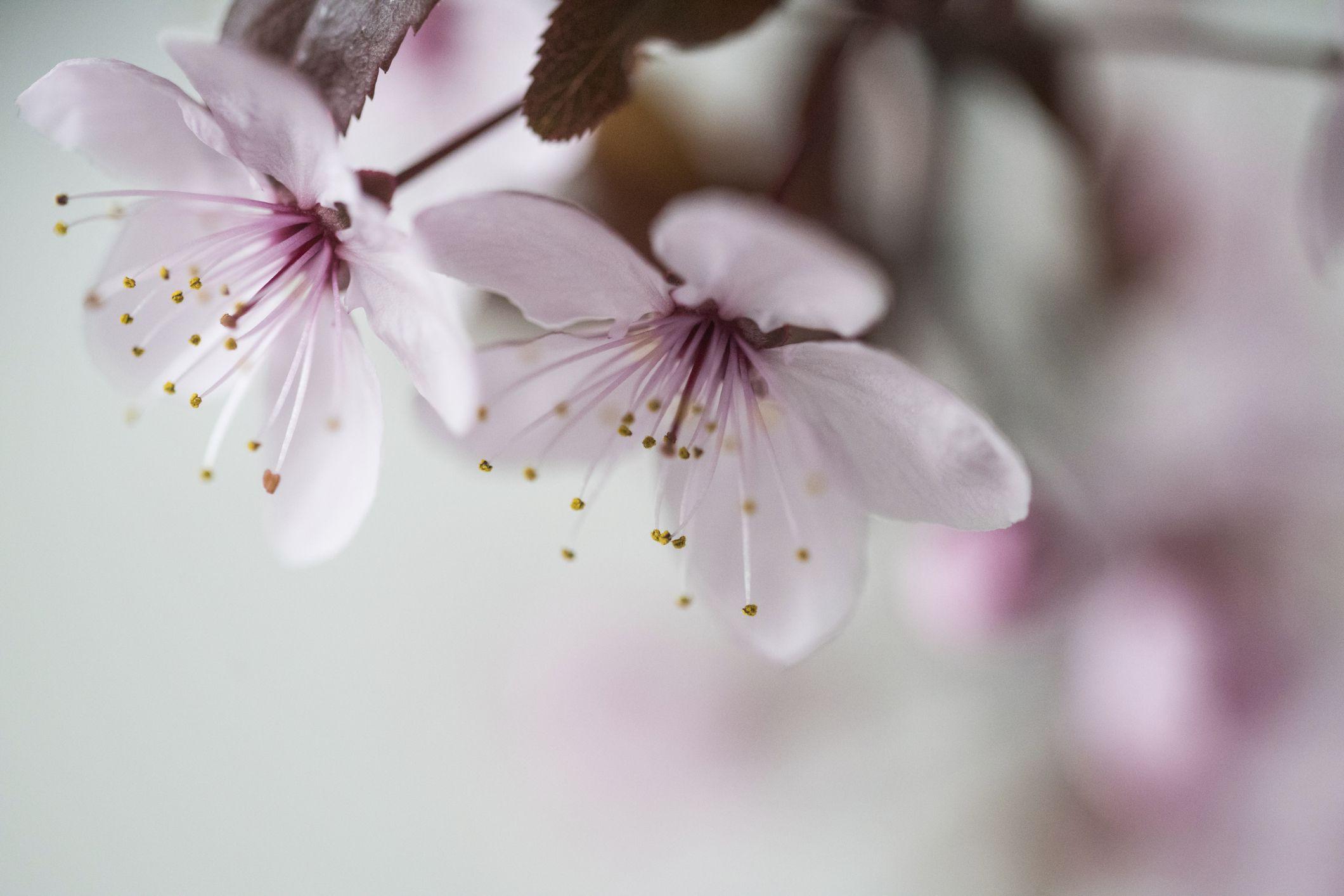 41. Apple Blossom - Michigan