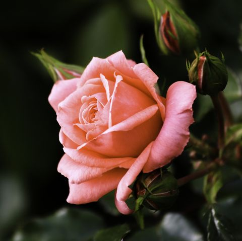 close up of blossoming rose flower