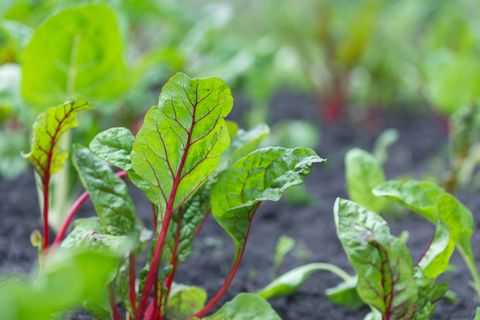 close up of chard leaves growing in garden