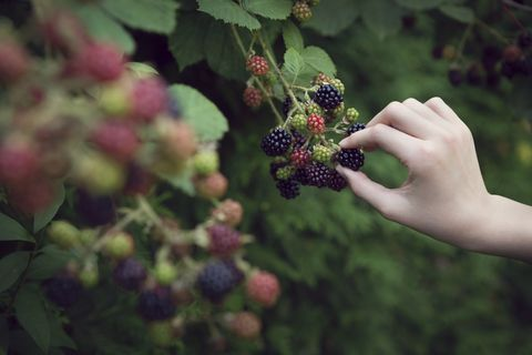 Close up of child picking blackberries