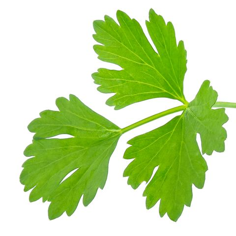 Close-Up Of Coriander, Cilantro Against White Background