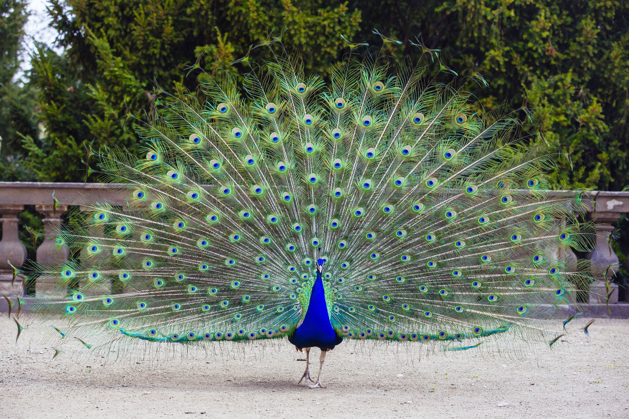 Close up of colorful peacock with his feathers fanned out