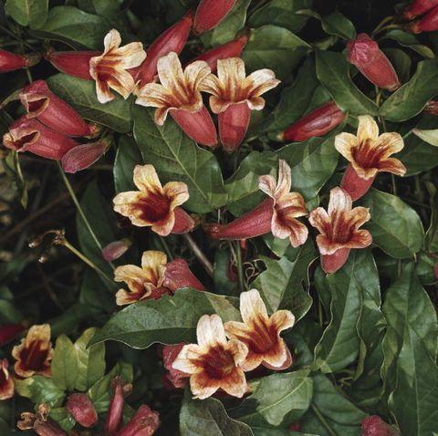 crossvine flowers bignonia capreolata