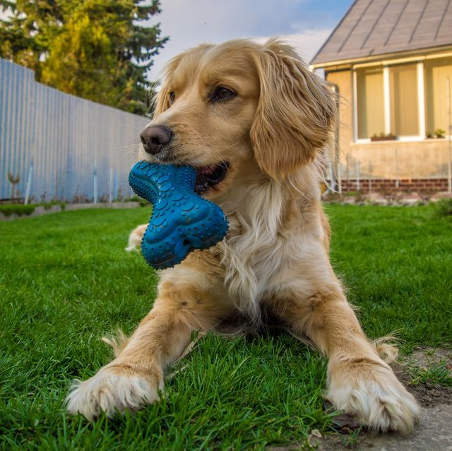 close up of dog with rubber bone in its mouth