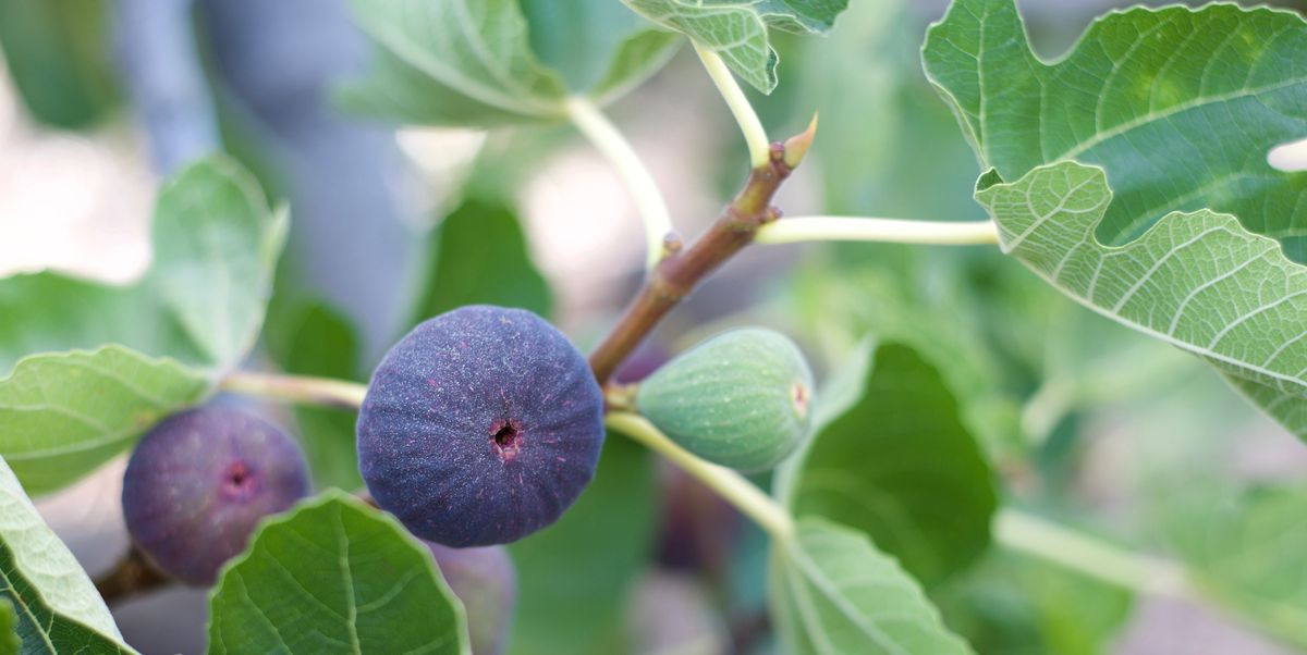 How To Grow Figs Planting And Caring For Fig Trees