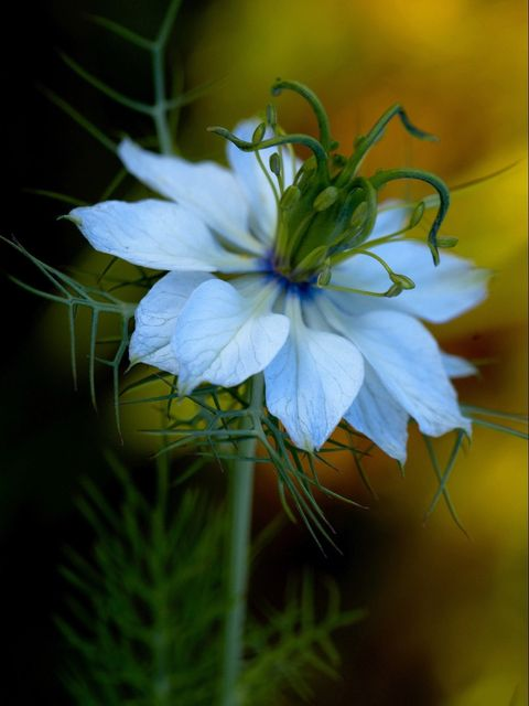 Close-Up Of Fresh Nigella Flower
