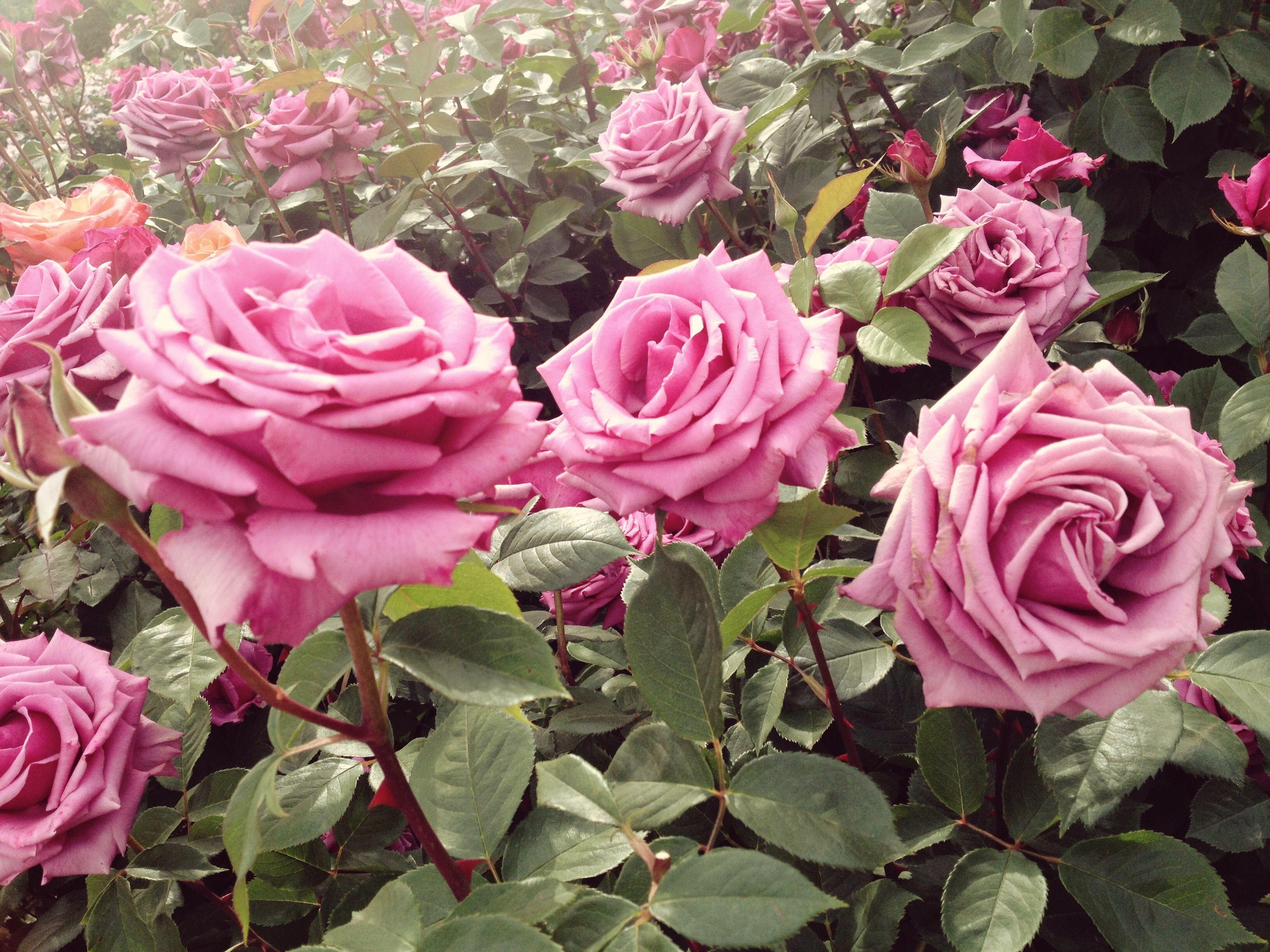 Zephirine Drouhin Climbing Rose best roses varieties for the garden