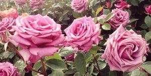 10 rose varieties for your garden