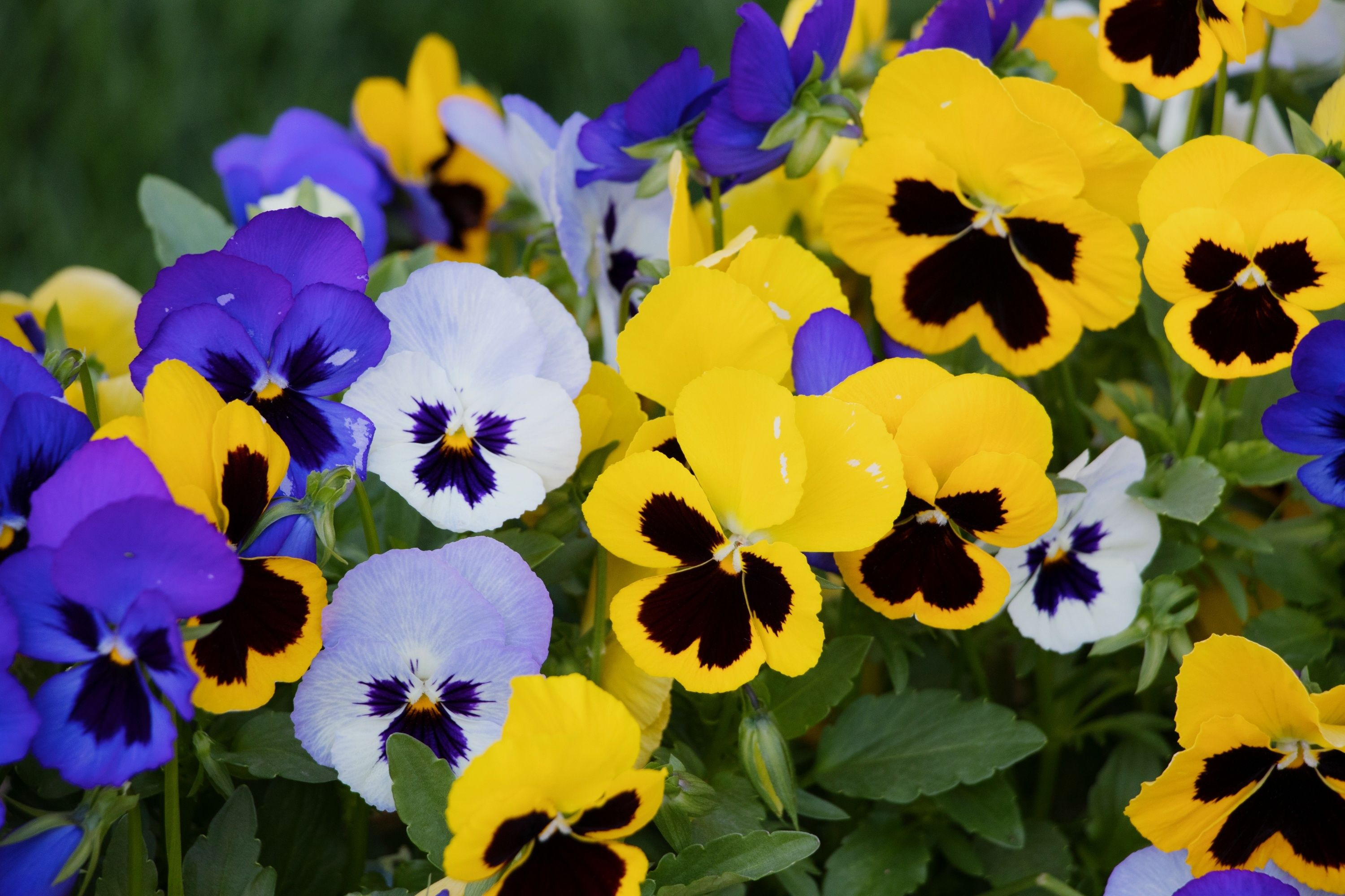 Winter pansies gardening guide