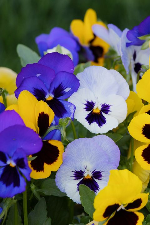 close up of fresh purple yellow flowers blooming in garden