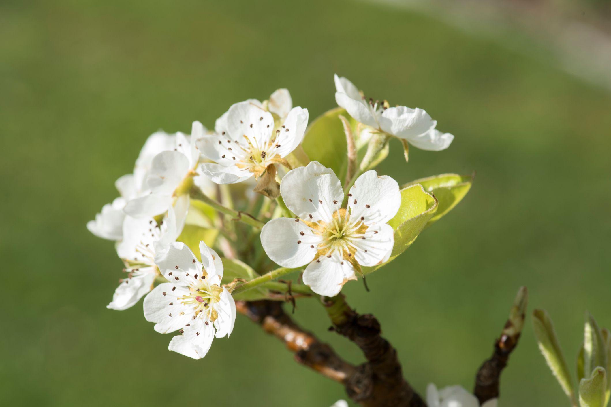40. Apple Blossom - Arkansas