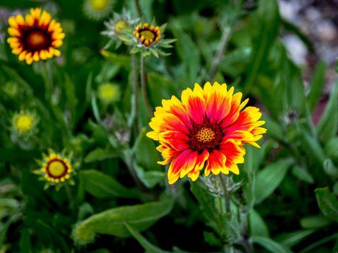 close up of gaillardia blooming outdoors