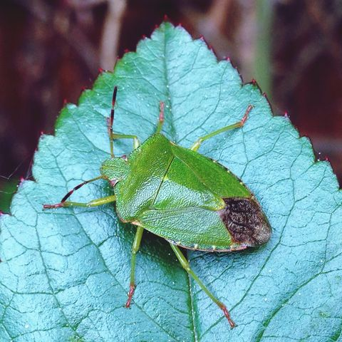 close up of green shield bug on leaf