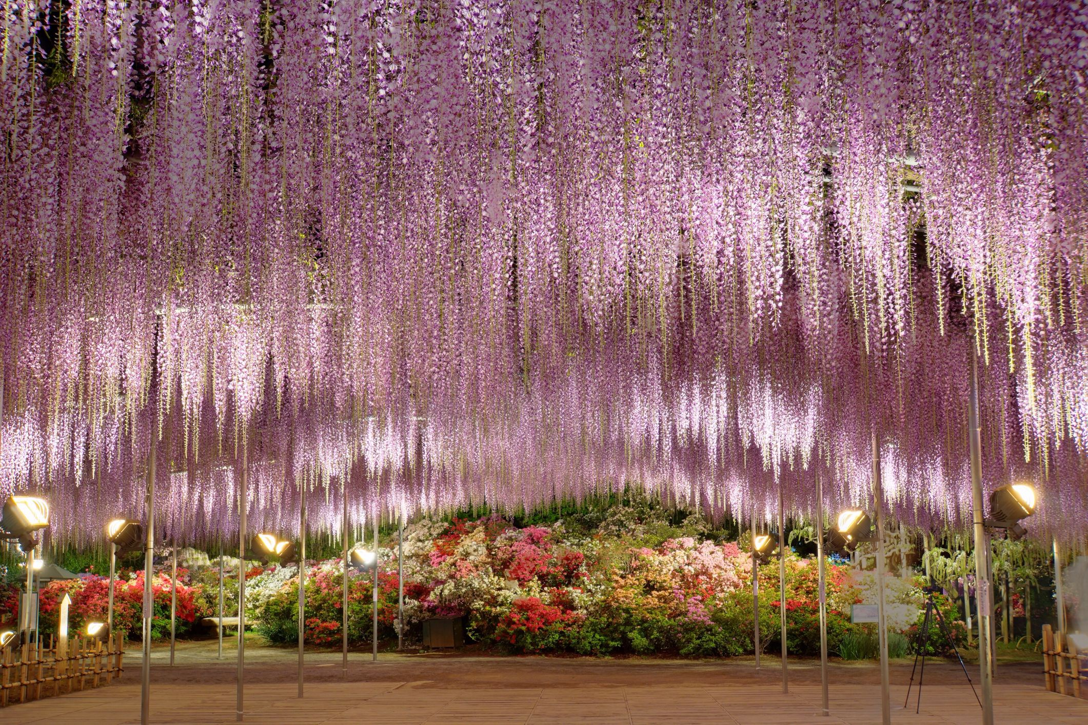 Japan S Wisteria Gardens Are A Must See When To Visit Wisteria Gardens Japan
