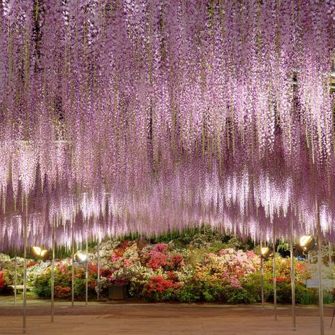 Japan S Wisteria Gardens Are A Must See When To Visit Wisteria