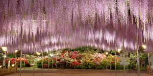 Close-Up Of Hanging FlowersWisteria Japan