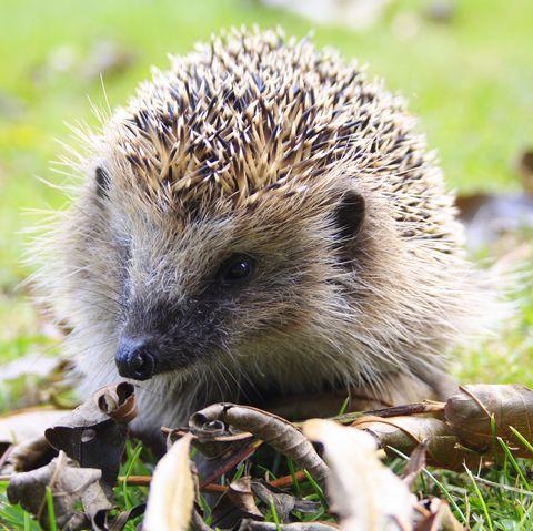 Close-Up Of Hedgehog On Grass