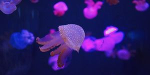 Close-Up of Jellyfish in Aquarium, Thailand
