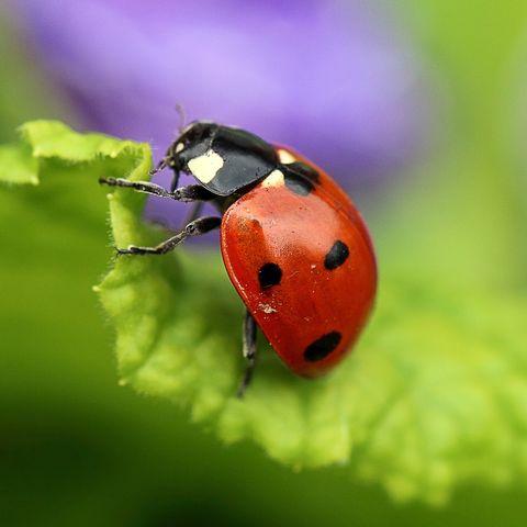 lady bird beetle - ladybug