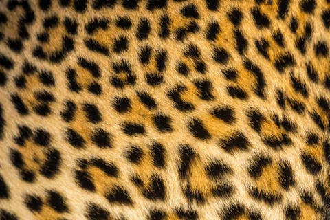Close up of leopards (Panthera pardus) fur