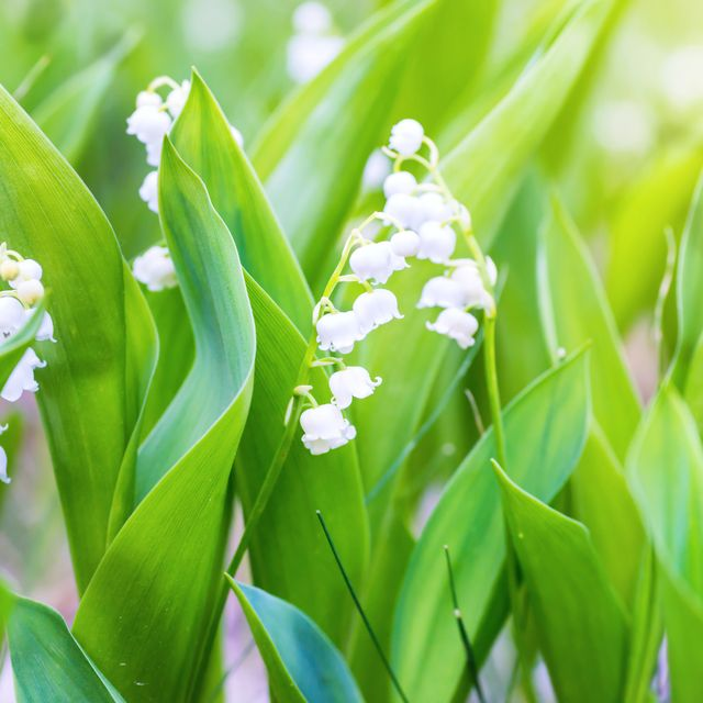 Close up of lilies of the valley