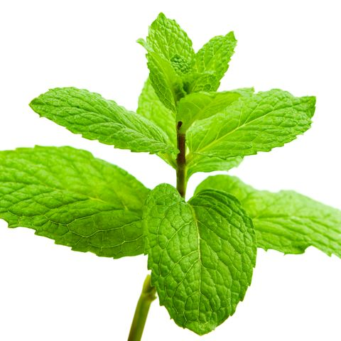 Close-Up Of Mint Leaves Against White Background