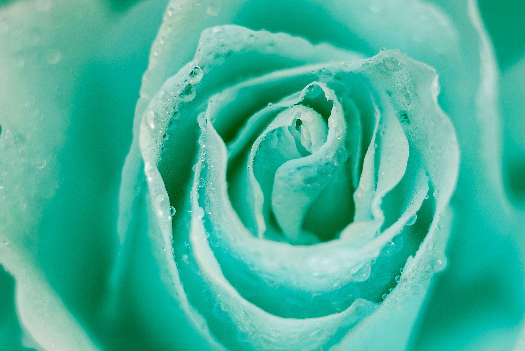 наблизо от мента роза