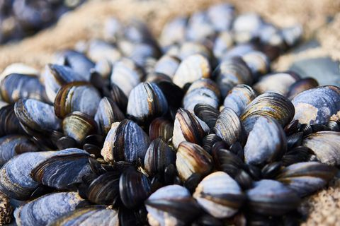 Close-Up Of Mussels On Rocks