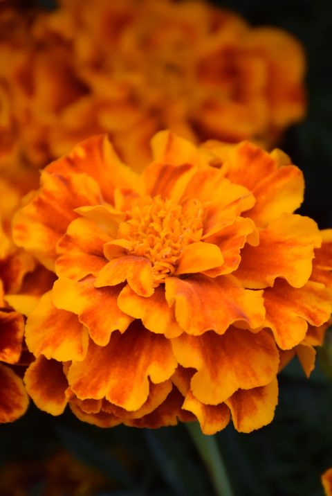 easiest flowers to grow marigold