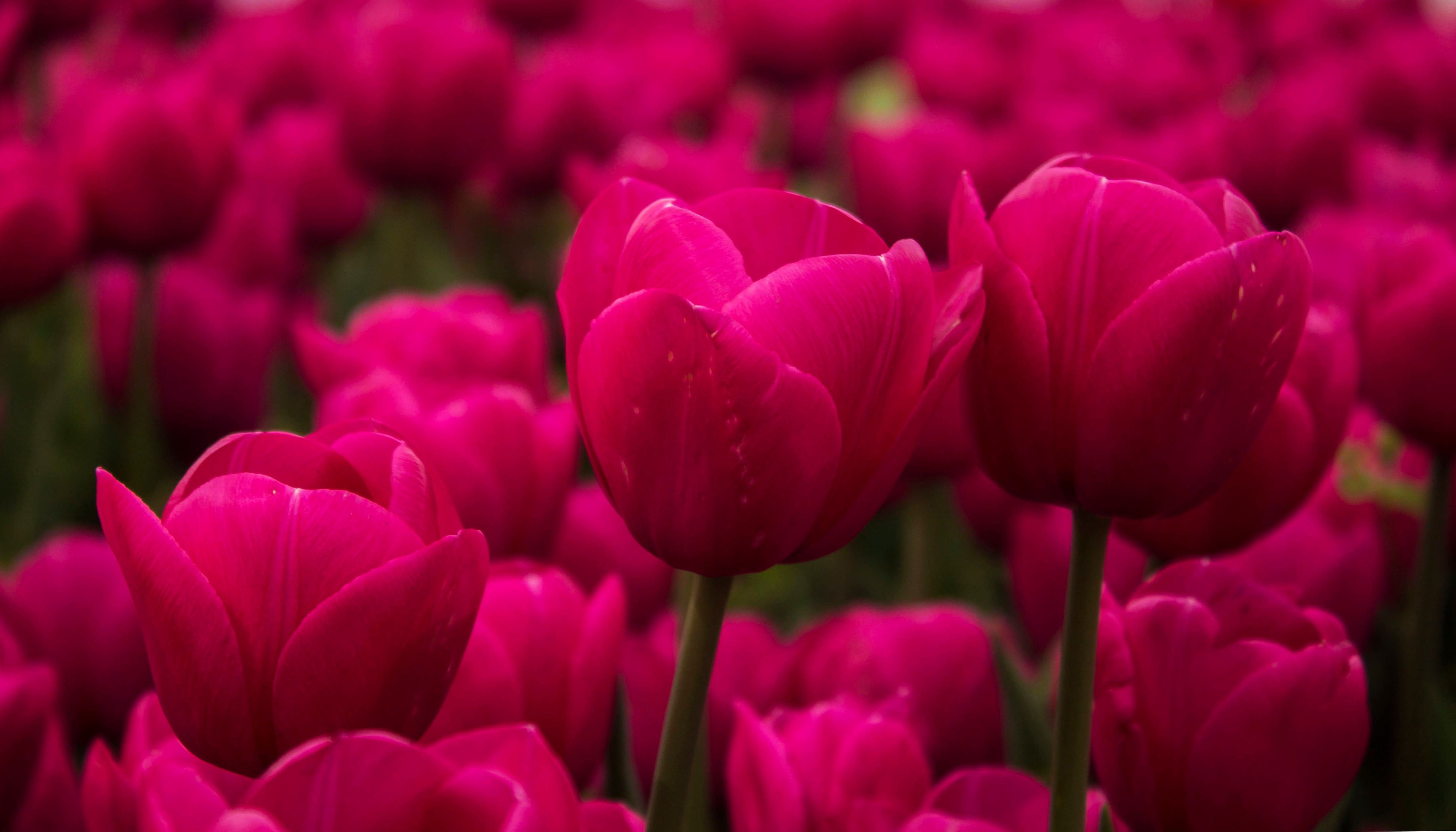20 Pink Flowers For Gardens Perennials Annuals With Pink Blossoms