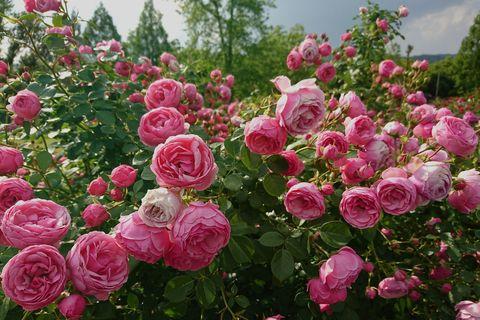 Plan de roses roses