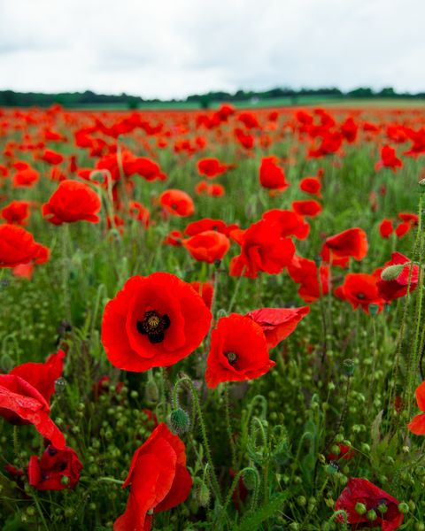 close up of poppies blooming on field against sky