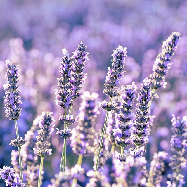 close up of purple flowering plants on field