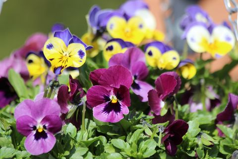 Winter Pansies - Best time to plant, gardening tips and more