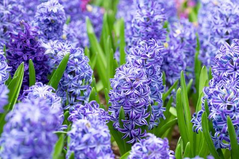 what to grow in november purple  hyacinths