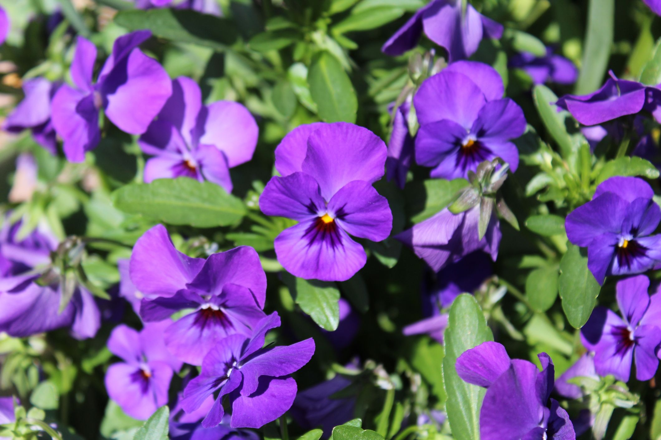 45. Violet - Rhode Island