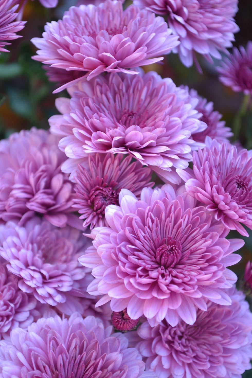 Crisantemos - significados de la flor
