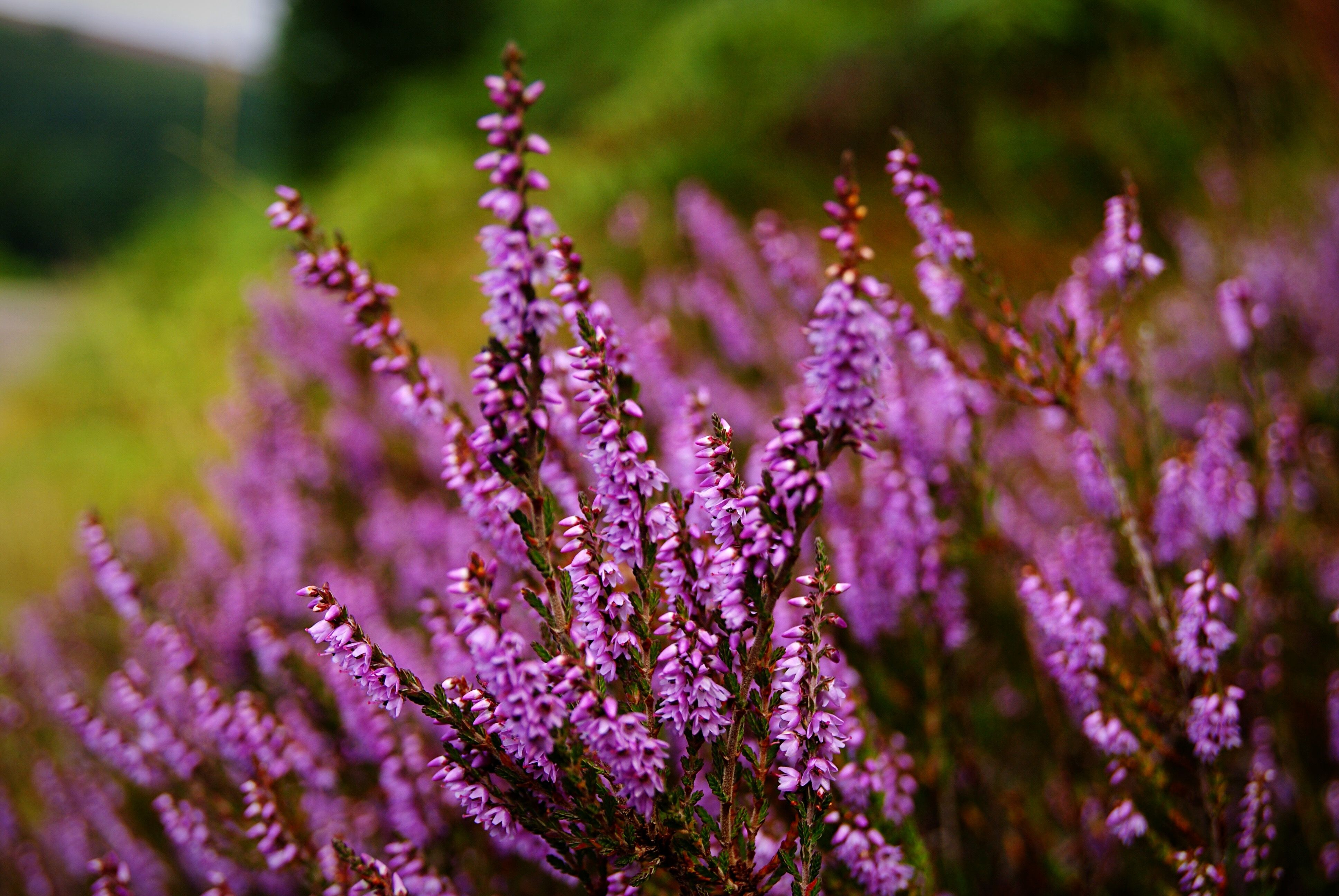 Close-Up Of Purple Heather Blooming On Field