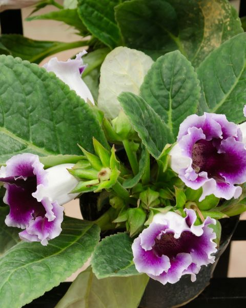 close up of purple spotted gloxinia blooming