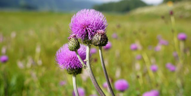 close up of purple thistle against green background