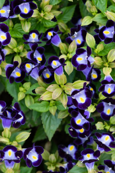 close up of purple torenia flower