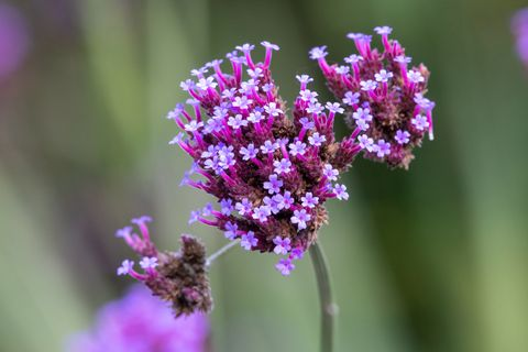 close up of purpletop vervain in bloom