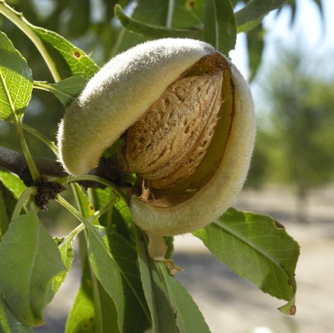 close up of ripening almonds on central california orchard