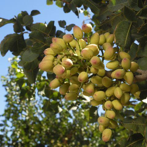 Cerca de maduración de pistacho en árbol