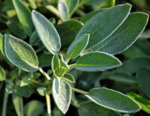 close up of sage growing in garden