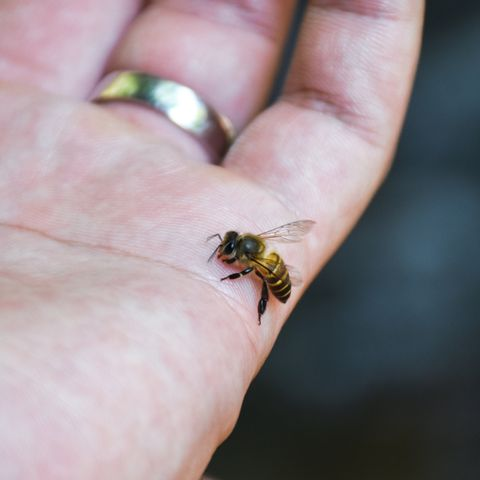 close up of the honey bee stinging attack in the human hand