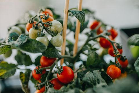 close up of tomatoes growing on potted plant