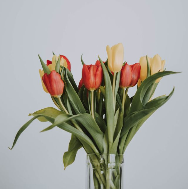close up of tulips against white background