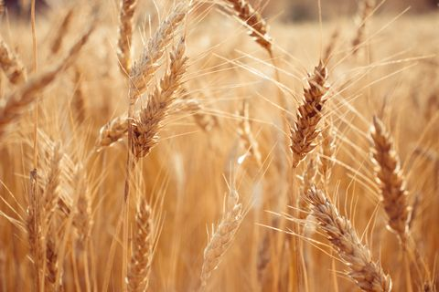 close up of wheat growing on field